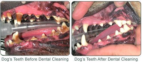Dog Dental Scaling At Home